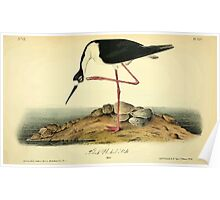 James Audubon Vector Rebuild - The Birds of America - From Drawings Made in the United States and Their Territories V 1-7 1840 - Black Necked Still Poster