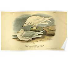 James Audubon Vector Rebuild - The Birds of America - From Drawings Made in the United States and Their Territories V 1-7 1840 - White Winged Silvery Gull Poster