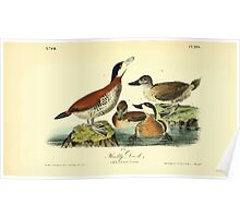 James Audubon Vector Rebuild - The Birds of America - From Drawings Made in the United States and Their Territories V 1-7 1840 - Ruddy Duck Poster