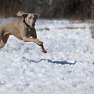 Matty G the Weim by TingyWende