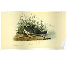James Audubon Vector Rebuild - The Birds of America - From Drawings Made in the United States and Their Territories V 1-7 1840 - Common Coot Poster