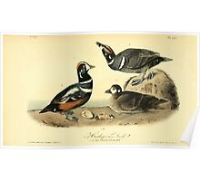 James Audubon Vector Rebuild - The Birds of America - From Drawings Made in the United States and Their Territories V 1-7 1840 - Harlequin Duck Poster