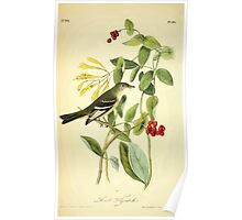 James Audubon Vector Rebuild - The Birds of America - From Drawings Made in the United States and Their Territories V 1-7 1840 - Least Flycatcher Poster