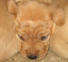 Snuggled Yellow Puppy by silverdragon