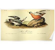 James Audubon Vector Rebuild - The Birds of America - From Drawings Made in the United States and Their Territories V 1-7 1840 - Red Phalarope Poster