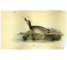 James Audubon Vector Rebuild - The Birds of America - From Drawings Made in the United States and Their Territories V 1-7 1840 - Brewers Duck Poster