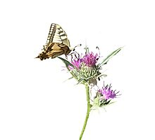 Scarce Swallowtail Butterfly and Thistle Background Removed Photographic Print