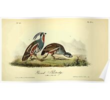 James Audubon Vector Rebuild - The Birds of America - From Drawings Made in the United States and Their Territories V 1-7 1840 - Ground Partridge Poster