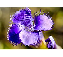 Purple Charmer Photographic Print