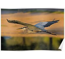 042909 Great Blue Heron Poster