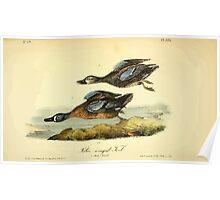 James Audubon Vector Rebuild - The Birds of America - From Drawings Made in the United States and Their Territories V 1-7 1840 - Blue Winged Teal Poster