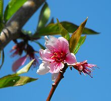Peach Tree Blossom by Jan  Tribe