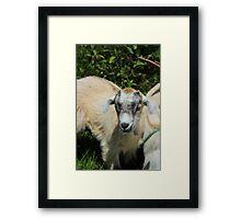 Kid Goat Framed Print