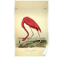 James Audubon Vector Rebuild - The Birds of America - From Drawings Made in the United States and Their Territories V 1-7 1840 - American Flamingo Poster