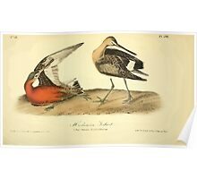James Audubon Vector Rebuild - The Birds of America - From Drawings Made in the United States and Their Territories V 1-7 1840 - Hudsonian Godwit Poster