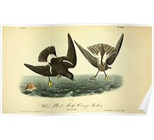 James Audubon Vector Rebuild - The Birds of America - From Drawings Made in the United States and Their Territories V 1-7 1840 - Wilson's Petrel or Mother Carey's Chicken Poster
