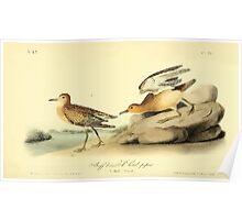James Audubon Vector Rebuild - The Birds of America - From Drawings Made in the United States and Their Territories V 1-7 1840 - Buff Breasted Sandpiper Poster