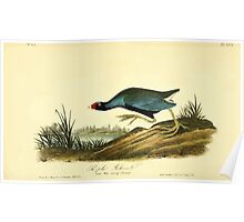 James Audubon Vector Rebuild - The Birds of America - From Drawings Made in the United States and Their Territories V 1-7 1840 - Purple Gallinule Poster