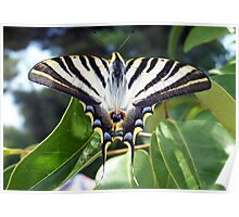Swallowtail Butterfly Resting on Oleander Leaves Poster