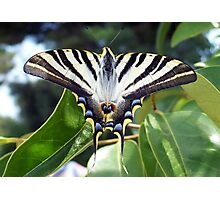 Swallowtail Butterfly Resting on Oleander Leaves Photographic Print