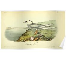 James Audubon Vector Rebuild - The Birds of America - From Drawings Made in the United States and Their Territories V 1-7 1840 - Trudeau's Tern Poster