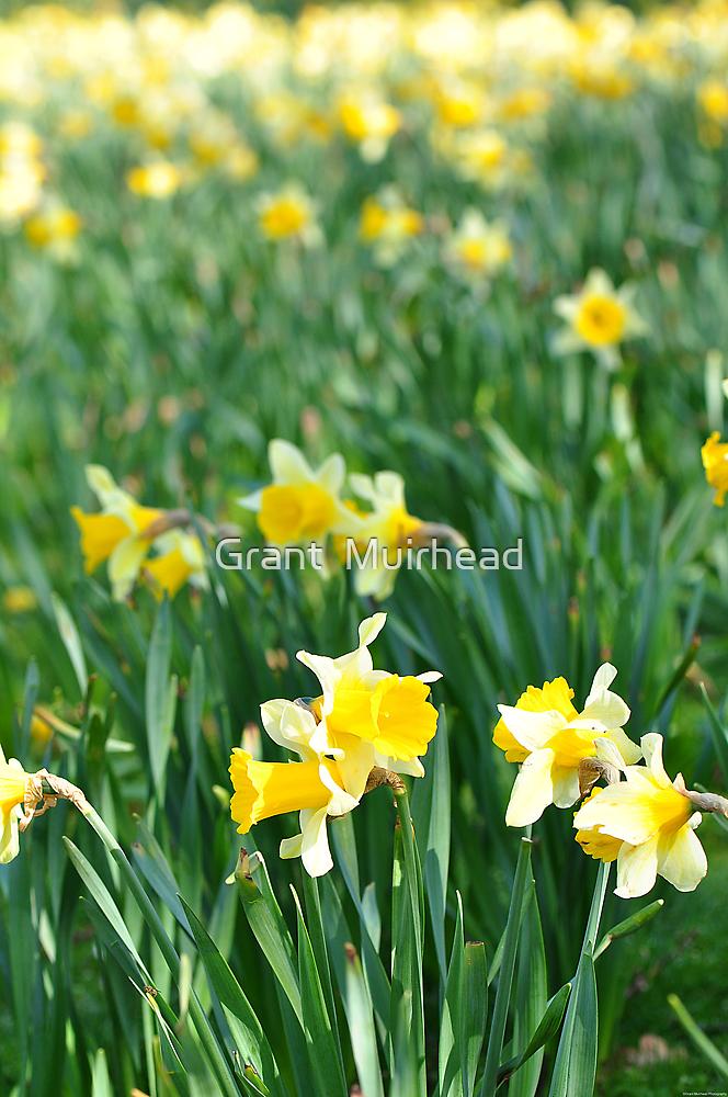 Daffodils by Grant  Muirhead