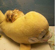 Sleepy Pheasants Photographic Print