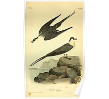 James Audubon Vector Rebuild - The Birds of America - From Drawings Made in the United States and Their Territories V 1-7 1840 - Arctic Jager Poster