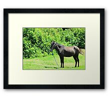 Black Horse in a Meadow Framed Print