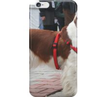 Young Welsh Springer Spaniel