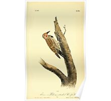 James Audubon Vector Rebuild - The Birds of America - From Drawings Made in the United States and Their Territories V 1-7 1840 - Missouri Red Moustached Woodpecker Poster