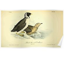 James Audubon Vector Rebuild - The Birds of America - From Drawings Made in the United States and Their Territories V 1-7 1840 - Black Throated Guillemot Poster