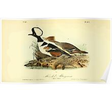 James Audubon Vector Rebuild - The Birds of America - From Drawings Made in the United States and Their Territories V 1-7 1840 - Hooded Merganser Poster