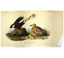 James Audubon Vector Rebuild - The Birds of America - From Drawings Made in the United States and Their Territories V 1-7 1840 - King Duck Poster