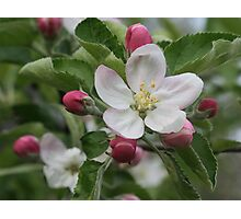 Michigan Apple Blossom Photographic Print