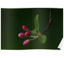 Apple Blossom Buds Poster
