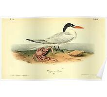 James Audubon Vector Rebuild - The Birds of America - From Drawings Made in the United States and Their Territories V 1-7 1840 - Cayenne Tern Poster