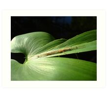 Long Jaw Orb Weaver on Pickerel Weed Art Print