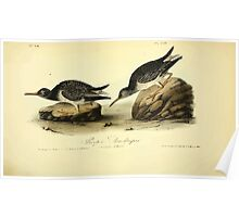 James Audubon Vector Rebuild - The Birds of America - From Drawings Made in the United States and Their Territories V 1-7 1840 - Purple Sandpiper Poster
