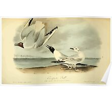 James Audubon Vector Rebuild - The Birds of America - From Drawings Made in the United States and Their Territories V 1-7 1840 - Bonapartes Gull Poster