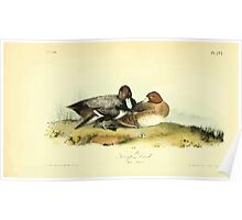 James Audubon Vector Rebuild - The Birds of America - From Drawings Made in the United States and Their Territories V 1-7 1840 - Scaup Duck Poster