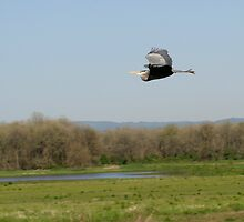 Great Blue Heron in Flight - 801 by BartElder