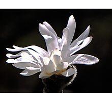 White Magnolia Photographic Print