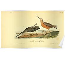 James Audubon Vector Rebuild - The Birds of America - From Drawings Made in the United States and Their Territories V 1-7 1840 - Red Breasted Snipe Poster