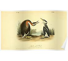 James Audubon Vector Rebuild - The Birds of America - From Drawings Made in the United States and Their Territories V 1-7 1840 - Red Necked Grebe Poster