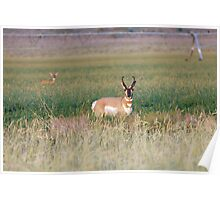 Male Pronghorn Antelope - 5809 Poster