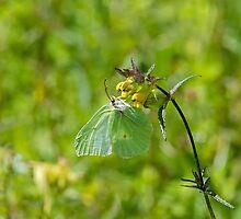 Brimstone Butterfly by Sue Robinson