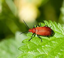 Cardinal Beetle by Sue Robinson