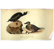 James Audubon Vector Rebuild - The Birds of America - From Drawings Made in the United States and Their Territories V 1-7 1840 - Black or Surf Duck Poster