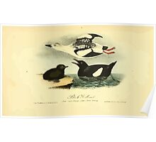 James Audubon Vector Rebuild - The Birds of America - From Drawings Made in the United States and Their Territories V 1-7 1840 - Black Guillemot Poster